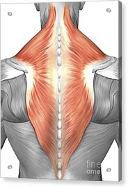 Muscles Of The Back And Neck Acrylic Print by Stocktrek Images