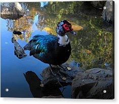 Muscovy Duck Acrylic Print by Frank Wilson