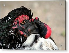 Muscovy Duck With Wattle Acrylic Print by Bob and Jan Shriner