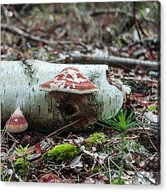 Mushroom On A Birchtree Acrylic Print