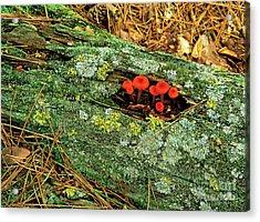 Mushrooms On A Log Acrylic Print by Stephen J. Krasemann