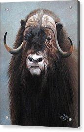 Musk Ox Acrylic Print