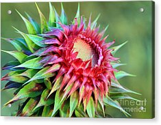 Acrylic Print featuring the photograph Musk Thistle by Teresa Zieba