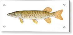 Muskie Acrylic Print by Carlyn Iverson