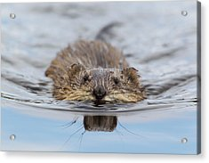 Muskrat Swimming Acrylic Print by Ken Archer