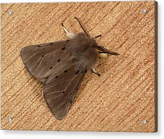Muslin Moth Acrylic Print by Nigel Downer