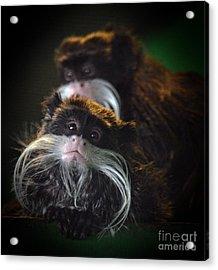 Mustached Monkeys Emperor Tamarins  Acrylic Print by Jim Fitzpatrick