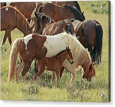 Mustang Baby Acrylic Print by David  Treick