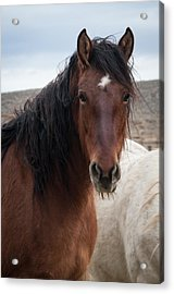 Mustang Beauty  Acrylic Print