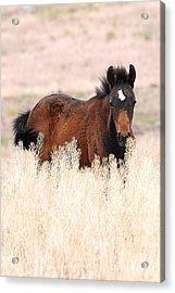 Acrylic Print featuring the photograph Mustang Colt In The Grasses by Vinnie Oakes