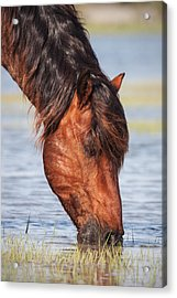 Mustang Feeding In The Marsh Acrylic Print