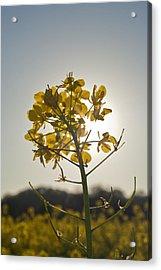 Mustard Flower In The Sun Acrylic Print by Joel Moranton