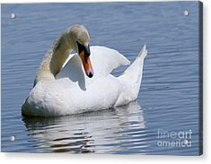 Mute Swan 1 Acrylic Print by Sharon Talson