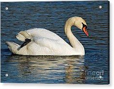 Mute Swan Resting Acrylic Print by Olivia Hardwicke