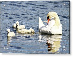 Mute Swans Acrylic Print by Alyce Taylor