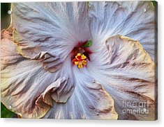 Muted Hibiscus Acrylic Print by Cindy Manero