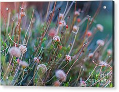 Muted Pink Acrylic Print