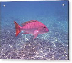 Mutton Snapper Profile Acrylic Print by Carey Chen