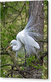 My Beautiful Plumage Acrylic Print