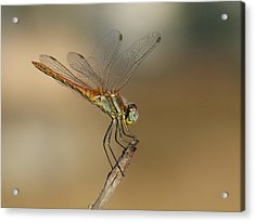 My Best Dragonfly Acrylic Print by Janina  Suuronen