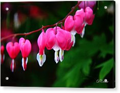 Acrylic Print featuring the photograph My Bleeding Heart by Davandra Cribbie