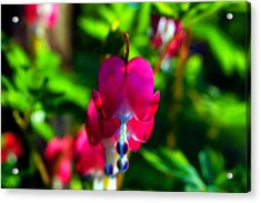 Acrylic Print featuring the photograph My Bleeding Heart by Peggy Franz