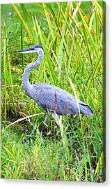 My Blue Heron Acrylic Print