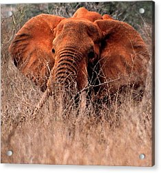 My Elephant In Africa Acrylic Print by Phyllis Kaltenbach