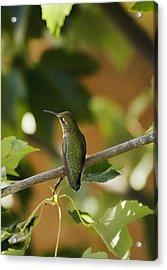 My Green Colored Hummingbird 4 Acrylic Print