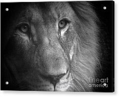 My Lion Eyes Acrylic Print by Thomas Woolworth