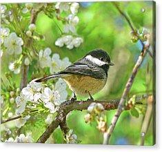 My Little Chickadee In The Cherry Tree Acrylic Print