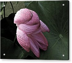 My Lotus My Love Acrylic Print by Larry Knipfing