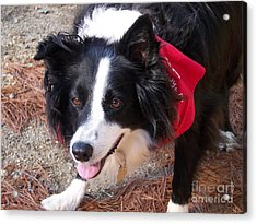 Female Border Collie Acrylic Print by Eunice Miller