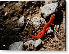 My Name Is Ned The Newt Acrylic Print by Susan Hernandez