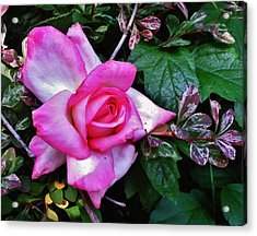 Acrylic Print featuring the photograph My Perfect Tea Rose by VLee Watson