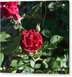 My Red Rose Acrylic Print by Alys Caviness-Gober