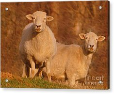Acrylic Print featuring the photograph My Sheep ...   by Lydia Holly