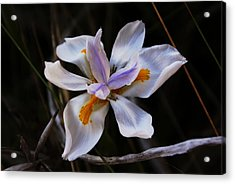 My Wild Iris Rose Too Acrylic Print by Debbie May