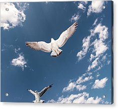 Myanmar, Inle Lake, Seagulls Inflight Acrylic Print by Martin Puddy