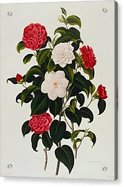 Myrtle Leaved Camellia Acrylic Print by Clara Maria Pope