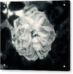 Acrylic Print featuring the photograph Marie-louise Rose by Louise Kumpf
