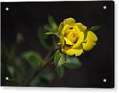 Mystic Yellow Rose Acrylic Print by Christina Rollo