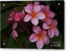 Na Lei Pua Melia O Wailua - Pink Tropical Plumeria Hawaii Acrylic Print