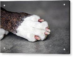 Nail Biter Acrylic Print by Sennie Pierson