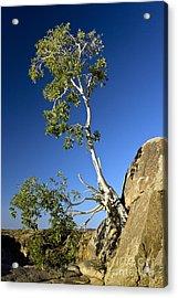 Namaqua Fig (ficus Cordata) Acrylic Print by Bob Gibbons