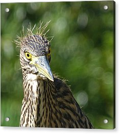 Nankeen Night Heron Junior Acrylic Print by Margaret Saheed