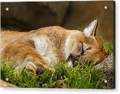 Acrylic Print featuring the photograph Nap Time  by Brian Cross