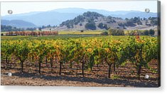 Napa Valley California Vineyard In Fall Autumn Acrylic Print