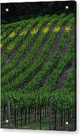 Napa Valley Vineyard Acrylic Print by Steve Gadomski