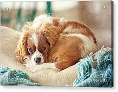 Napping Puppy Acrylic Print